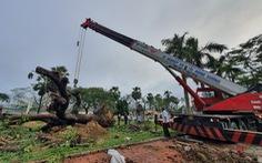 Người dân Huế vui mừng với cây xà cừ cổ thụ bị bão quật ngã được trồng lại