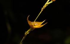 Phát hiện loài phong lan đặc biệt quý hiếm tại Ecuador