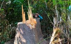 Rừng bạch tùng cổ thụ bị đốn hạ, phát hiện gỗ cùng loại ở nhà tổ trưởng bảo vệ rừng