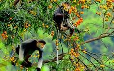 Voọc chà vá chân nâu 'áp đảo' cuộc thi ảnh môi trường Đà Nẵng