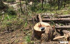 Hàng trăm cây thông thân to bị triệt hạ la liệt
