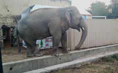 Chú voi cô đơn nhất thế giới đến nhà mới ở Campuchia