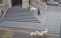 Video vui: 4 con cừu, 1 con dê vô trung tâm thành phố rượt người dân 'chạy có cờ'