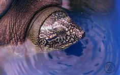 Xét nghiệm gen xác nhận rùa ở hồ Đồng Mô thuộc loài rùa Hoàn Kiếm