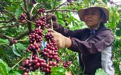 Giá cà phê thấp, nông dân không 'ngóc đầu lên được'