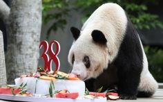 Trung Quốc: Con gấu trúc khổng lồ già nhất thế giới qua đời