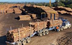 Trung Quốc ngừng nhập khẩu gỗ từ Úc vì sâu bệnh