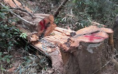 Đình chỉ giám đốc để rừng đặc dụng Mường Phăng bị 'rút ruột'