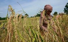 Hiệu quả từ 'Dự án lúa gạo thân thiện' tại Campuchia