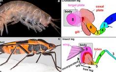 Cánh của côn trùng từ đâu mà có?