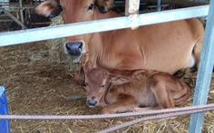 Bò tót lai ở Phước Bình sinh bò tót con F3