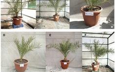 Hạt giống 2.000 năm tuổi vẫn nảy mầm thành cây