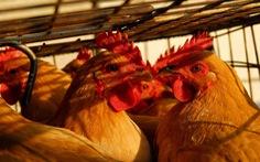 Trung Quốc xác nhận cúm gia cầm H5N6 đầu tiên ở Tứ Xuyên