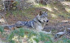 Cái kết đau lòng của con sói 'cô đơn nhất thế giới'