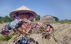 Qua miền khô hạn - Kỳ 3: Một vụ mùa 'bỏ đi'