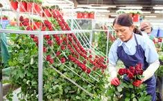 Vùng hoa hồng Đà Lạt thấp thỏm chờ lễ 8-3