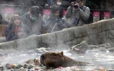 Đến Nhật xem chuột capybara tắm nước nóng