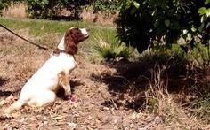 Phát hiện mới: chó có thể đánh hơi dịch bệnh trên cây trồng