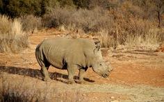Số lượng tê giác bị săn trộm tại Nam Phi đã giảm 5 năm liên tục