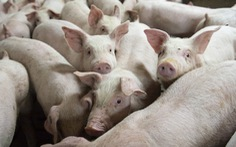 Trung Quốc tiếp tục hỗ trợ các doanh nghiệp tư nhân sản xuất thịt lợn