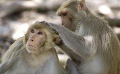 Hy vọng mới cho vắcxin ngừa virus SARS-CoV-2 đến từ loài khỉ