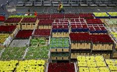 Hoa xuất khẩu của Hà Lan phải đem làm phân bón do COVID-19