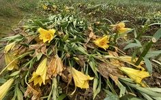Cắt bỏ vườn hoa đổ ra đường đê