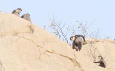 Ninh Thuận lập phương án bảo vệ đàn voọc chà vá chân đen