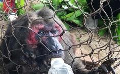 Khỉ mặt đỏ bị thương xuống nhà dân tìm thức ăn