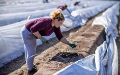 Châu Âu quá thiếu lao động thời vụ đành hé cửa đón chào