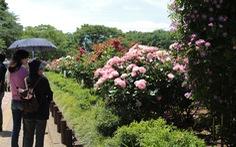Nhật Bản cắt bỏ hàng chục ngàn hoa hồng, hoa tulip để ngăn người dân ngắm hoa