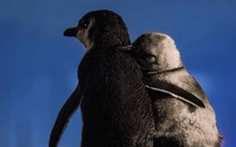 Chim cánh cụt mất bạn đời an ủi nhau khiến dân mạng rưng rưng