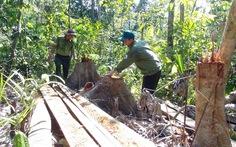Lâm tặc mở cả cây số đường giữa rừng để đốn gỗ