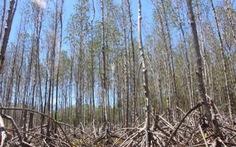 Rừng phòng hộ ở Sóc Trăng chết khô do thiếu nước