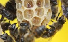 'Bí ẩn sinh học' ở loài ong mật Nam Phi