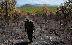 Gần 100ha rừng trồng ở Khánh Hòa bị cháy
