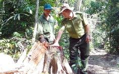 Khởi tố vụ lâm tặc mở đường giữa rừng để đốn gỗ