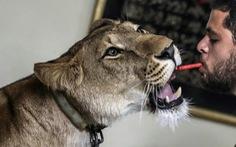 Rạp xiếc đóng cửa, sư tử được đưa về nhà biểu diễn
