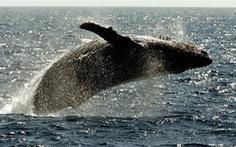 Tưởng đã tuyệt chủng, cá voi lưng gù hồi sinh ngoạn mục