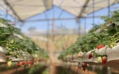 Du lịch nhà vườn Đà Lạt: nông dân mở lòng nếu khách dễ thương