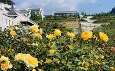Sa Pa nhận kỷ lục thung lũng hoa hồng lớn nhất Việt Nam