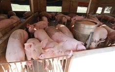 Lần đầu tiên Việt Nam cho nhập heo sống để hạ giá thịt heo