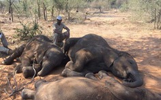 Bí ẩn hơn 150 con voi chết chưa rõ nguyên nhân