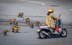 Khỉ hoang 'quậy' vì thiếu thức ăn từ du khách, Thái Lan muốn triệt sản 500 con