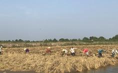 Muốn ưu đãi thuế vào EU, doanh nghiệp gạo phải được xác nhận