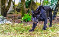 Cảnh báo cho người dân cảnh giác nghi xuất hiện 2 con báo đen ra vào khu dân cư