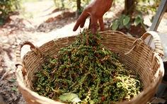 Giá hạt tiêu Campuchia tăng nhờ nhu cầu lớn từ Việt Nam