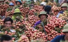 Toàn bộ thương nhân Trung Quốc phải cách ly khi sang Việt Nam mua vải thiều Lục Ngạn
