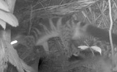 Tìm thấy nhiều gấu ngựa và cầy vằn quý hiếm ở Pù Luông