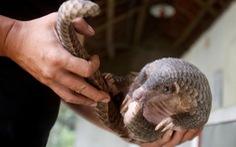 Myanmar nói nuôi tê tê, hổ...để giảm săn trộm, các nhà bảo tồn nói ngược lại